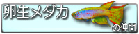 卵生メダカ